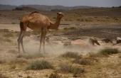 Oman, Masirah-Island_Wueste_Kamele