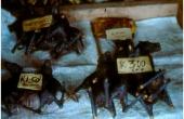 papuanewguineagebratenefledermaus