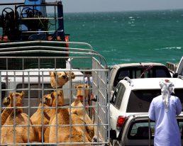 Oman Insel: MASIRAH – Lagunen & Wellen über Riffen mit Arschlochmuscheln