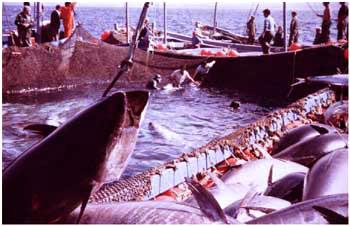 Andalusien, Costa de la Luz: Tunfischfang Almadraba, grausamer Tod für die edelsten Küchen der Welt