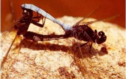 Libelle bei der Paarung im feuchtgrünen Hochland