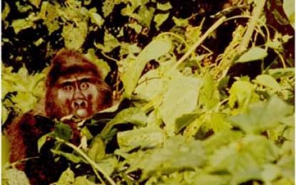 Uganda/ Zaire: Zu Besuch bei den Berggorillas. Gemeinsamkeiten zwischen Mensch und Affe
